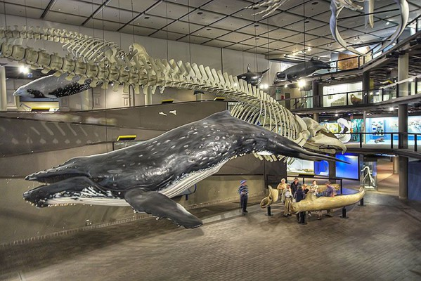 Whale featured at the South African Museum
